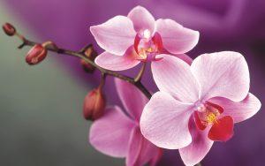 orchidee-foto